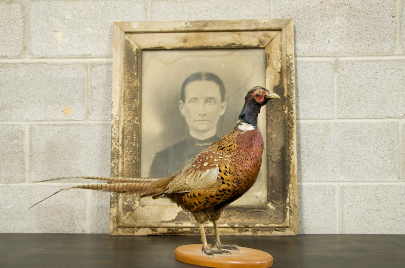 1559_taxidermy-pheasant-bird-stuffed-vintage2